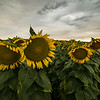 Sunflower field on a gorgeous stormy evening in Vacaville<br /> <br /> See how the sunflowers look a bit droopy? I found some rocks to wedge under the heads to prop them up. See next photo!