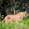 Lion woman!