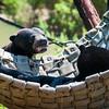 Maylan Sun Bear's
